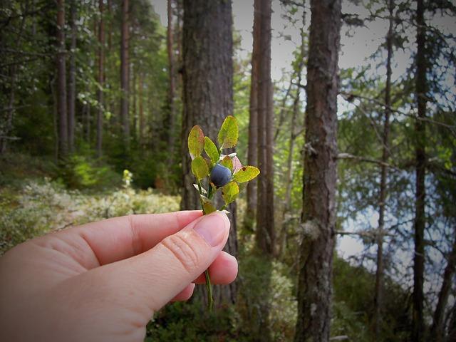 När mognar årets blåbär?
