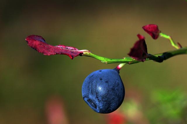 När mognar årets blåbär säsongen 2021?